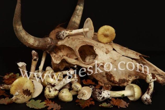 bonos e malos Funghi di Barbagia-1